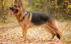german-shepherd-names-female