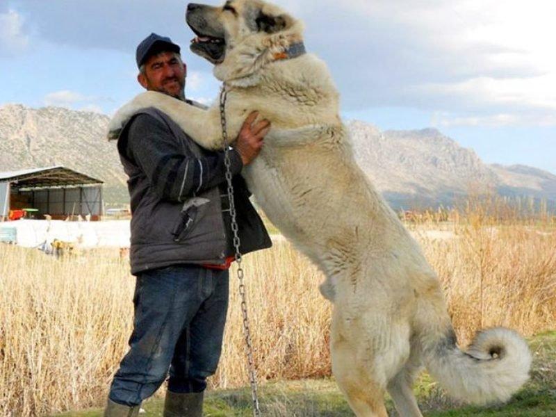 Is kangal a good guard dog