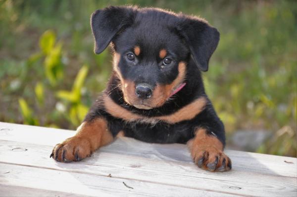 Unique Rottweiler names