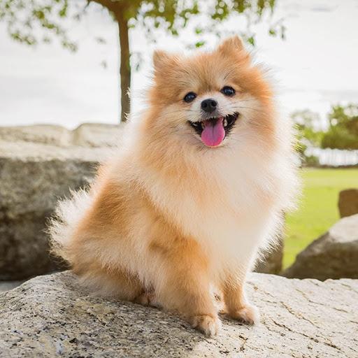 Unique Pomeranian Dog Names