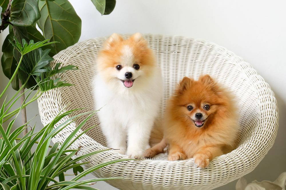 Female Pomeranian Dog Names