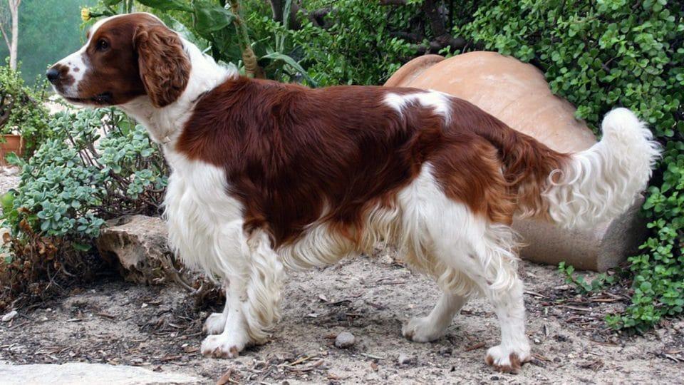 8 Spaniel Dog Names