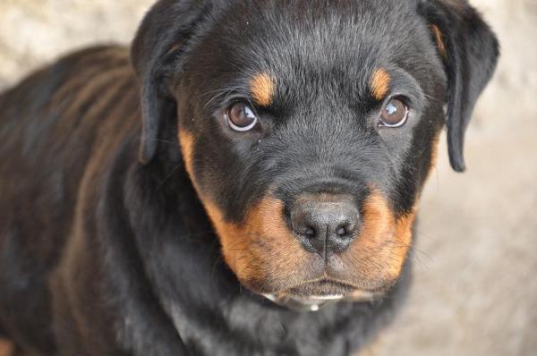 10 Female Rottweiler names
